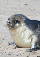 Hooded seal yearling