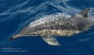 Common dolphin, New Zealand