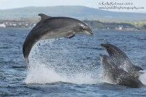 Bottlenose dolphins (Kesslet, Yoda and MiniFin), Scotland