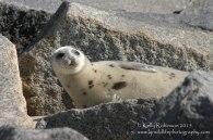 Harp seal yearling